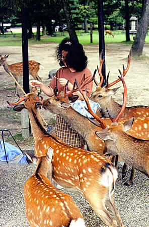 Feeding deer in Nara. Japan.