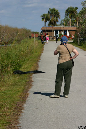 Hiker contemplates alligator in Everglades National Park. FL.