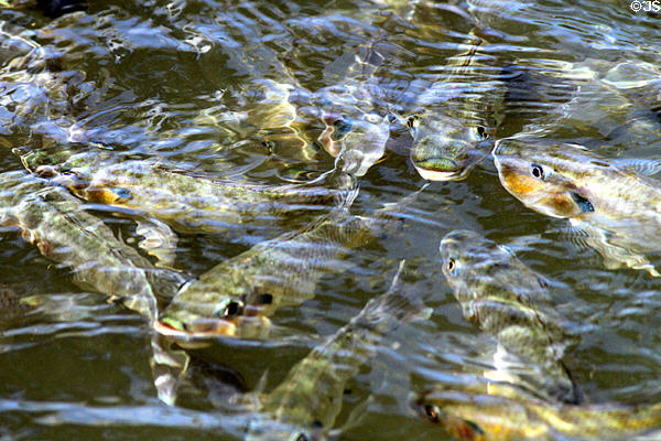 Fish in canal at Polynesian Cultural Center. Laie, HI.