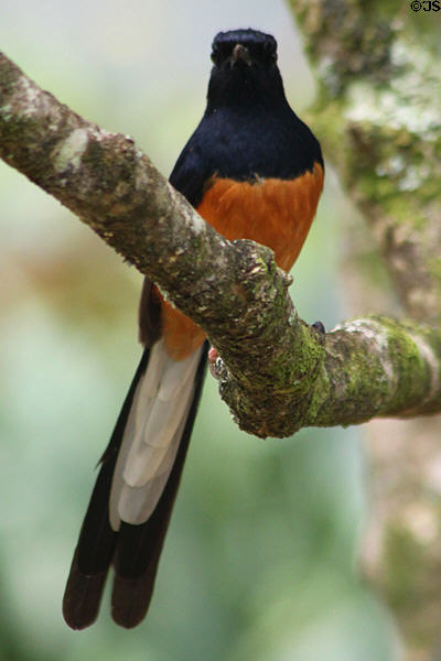 White-rumped Shama (<i>Copsychus malabarics</i>) in Hawaii. HI.
