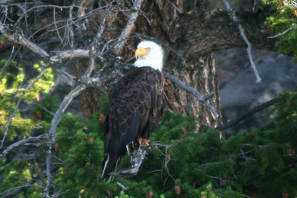 Bald Eagle (<i>Haliaeetus leucocephalus</i>) at Yellowstone National Park. WY.