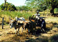 Oxcart as transport near Liberia. Costa Rica.