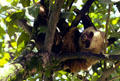 Two-toed sloth hanging from the branches in the eastern farm country of Costa Rica.