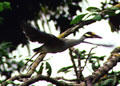 Yellow-crowned Night Heron flying through the trees in Tortuguero. Costa Rica.