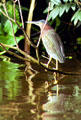 Green Heron on a branch above the water in Tortuguero. Costa Rica.