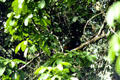 Howler Monkey hiding in the trees in Tortuguero. Costa Rica.
