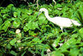 Little Blue Heron in Tortuguero. Costa Rica.