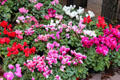 Cyclamen plants in flower market on Cours Saleya in Old Nice. Nice, France.