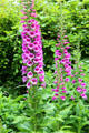 Foxgloves at St Stephen's Green. Dublin, Ireland.
