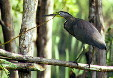 Tiger Heron about to take flight, Manialtepec. Mexico.