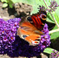 Peacock butterfly <i>Inachis io</i> at Cardoness Castle. Scotland.