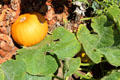 Pumpkin in kitchen garden at Old Point Loma Lighthouse. San Diego, CA.