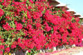 Bougainvillea hedge at University of California, Riverside. Riverside, CA.