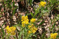 Goldenrod at Florissant Fossil Beds National Monument. CO.