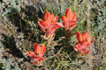 Red wildflowers at Florissant Fossil Beds National Monument. CO.