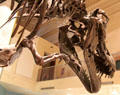 Cast of <i>Tyrannosaurus rex</i> fossil at National Museum of Natural History. Washington, DC.