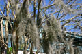 Detail of Spanish moss. St Augustine, FL.