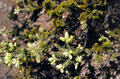 Small plants on lava in Volcanoes National Park. Big Island of Hawaii, HI.
