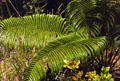 Tree fern forest in Volcanoes National Park. Big Island of Hawaii, HI.