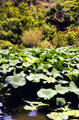 Lotus plants at Waimea Valley Adventure Park. Oahu, HI.