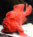 Painted Frogfish at Waikiki Aquarium