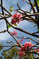 Red Plumeria flowers on University of Hawai'i campus. Honolulu, HI.