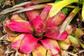 Bromeliad in gardens of Dole Plantation. HI.