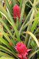 Ananas Bracteatus pineapple variety in garden at Dole Plantation. HI.