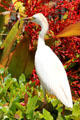 Cattle Egret at Dole Plantation. HI.