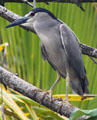 Black-crowned Night-Heron in Hawaii. HI.