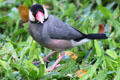 Java Sparrow in Hawaii. HI.