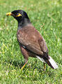 Common Myna or Indian Myna in Hawaii. HI.