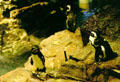 African Penguins , native to South Africa, in New England Aquarium. Boston, MA.