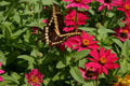 Swallowtail butterfly at Hidden Lake Gardens. MI.
