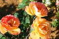Peach & yellow roses in Clemens Botanical Gardens. St. Cloud, MN.
