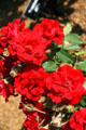 Red roses in Clemens Botanical Gardens. St. Cloud, MN.