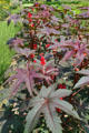 Castor bean plants in garden of Canterbury Shaker Village. NH.