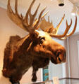 Moose head mounted at Woodman Museum. Dover, NH.