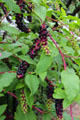 Fruiting plant with purple & green berries. Dover, NH.