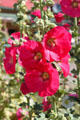 Hollyhocks at San Francisco de Asis Church. Taos, NM