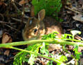 Small rabbit in garden of Lefferts Homestead museum. Brooklyn, NY.