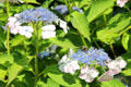 Hydrangeas at Vanderbilt Mansion. Centerport, NY.