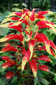 Tricolor Amaranthus bush with red leaves & yellow tips at Toledo Botanical Garden. Toledo, OH.