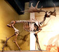 Irish Elk fossil skeleton at Cleveland Museum of Natural History. Cleveland, OH.