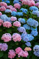Hydrangeas at Hoover - Minthorn House. Newberg, OR