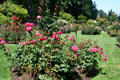 Rose bushes in Portland Rose Garden. Portland, OR.
