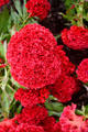 Scarlet celosia at Longwood Gardens. Kennett Square, PA.