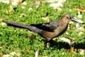 Female Grackle. TX.