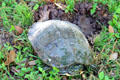 Turtle laying eggs on grounds of Mayborn Museum. Waco, TX.