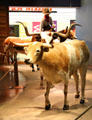 Driving longhorns at Cattle Raisers Museum of Fort Worth Museum of Science & History. Fort Worth, TX.